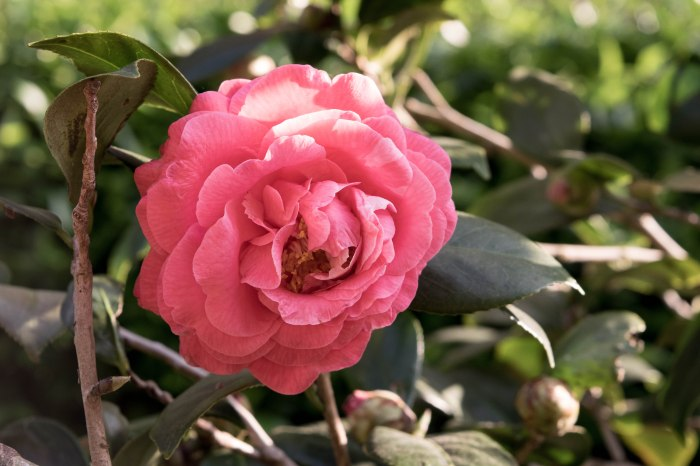 pink camellia flower in sunlight